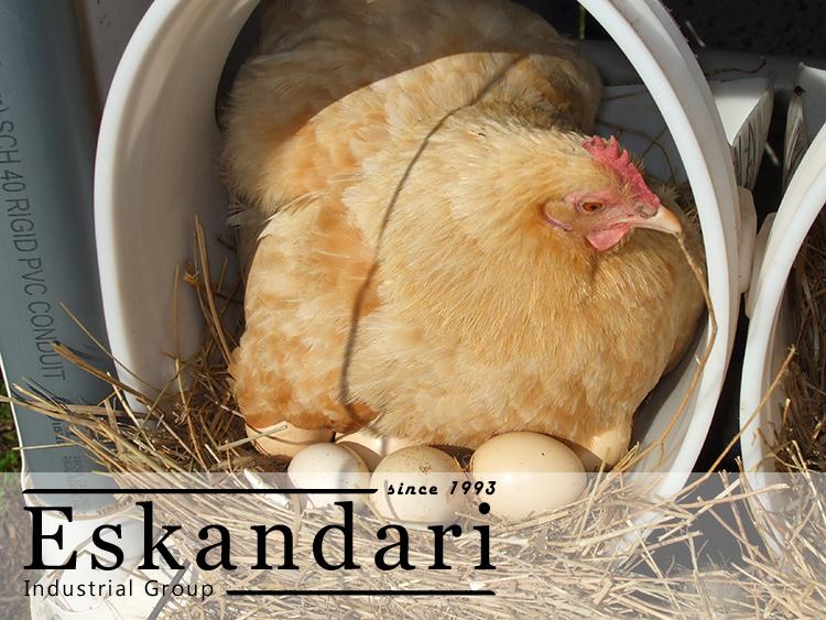 تولید تخم مرغ مناسب جوجه کشی