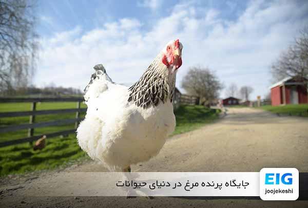 مرغ - سایت جوجه کشی دات کام
