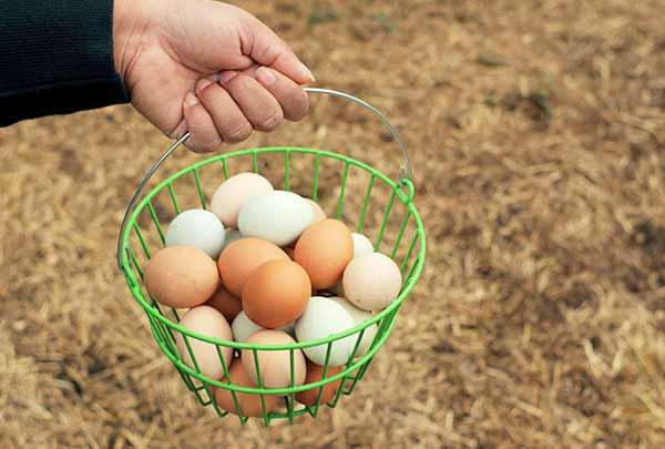 جمع کردن تخم مرغ ها - سایت جوجه کشی دات کام