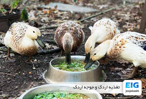 غذای اردک و جوجه اردک یک روزه - جوجه کشی دات کام