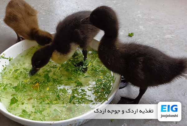 نحوه غذای دادن به جوجه اردک در منزل - جوجه کشی دات کام