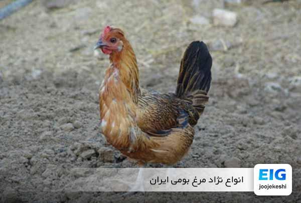 نژاد مرغ بومی ایران کدامند؟ - جوجه کشی دات کام