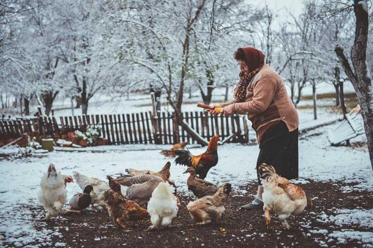 پرورش مرغ ذر خونه