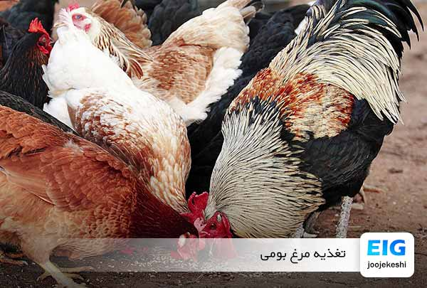غذای-مرغ-بومی - سایت جوجه کشی دات کام