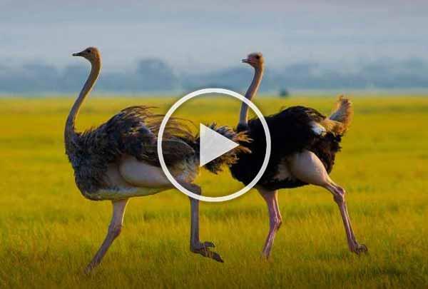 ویدیوی آموزش نگهداری از شترمرغ - جوجه کشی دات کام
