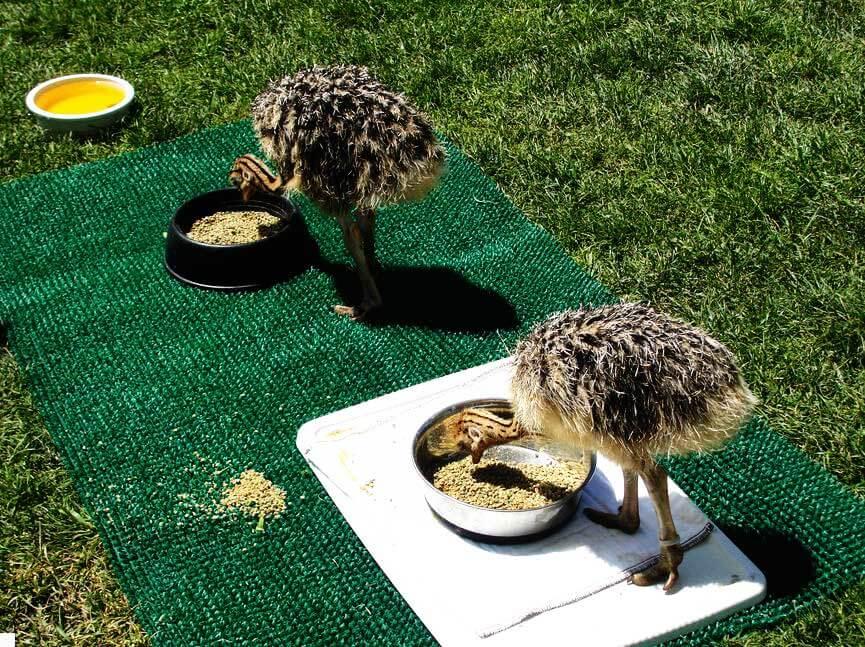 تغذیه جوجه شترمرغ - دستگاه جوجه کشی شترمرغ