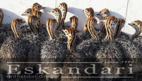 پرورش جوجه شترمرغ