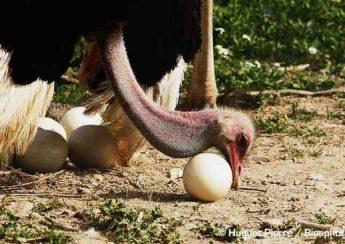 نکاتی در مورد تخم شترمرغ و جوجه کشی
