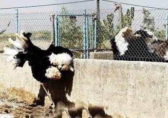 مشکلات رفتاری شترمرغ