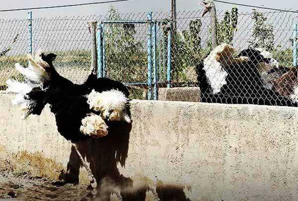 مشکلات پرورش شترمرغ - جوجه کشی دات کام