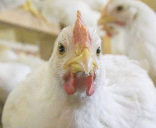 واکسن های طیور واکسن پاستورلوز طيور