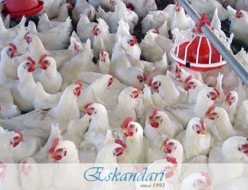 پرورش نیمچه و مرغ
