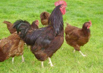 آموزش پرورش مرغ بومی