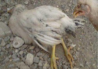 مرغ بومی و بیماری های آن