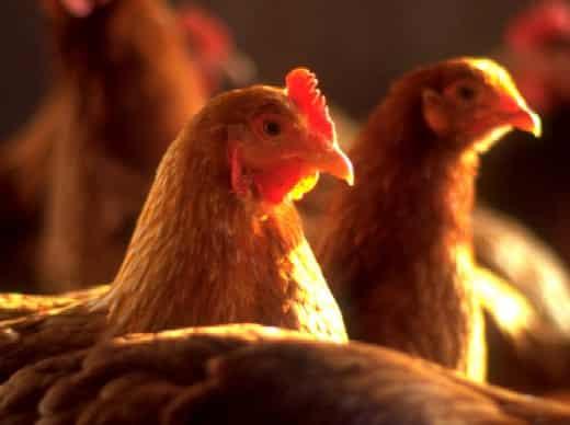 الگوی ساخت آشیانه مرغ بومی