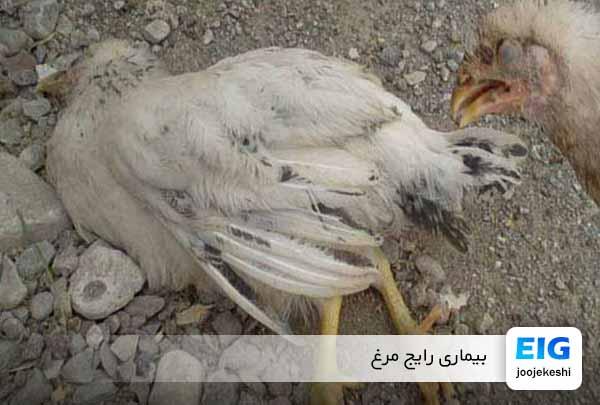 مهمترین بیماری های مرغ