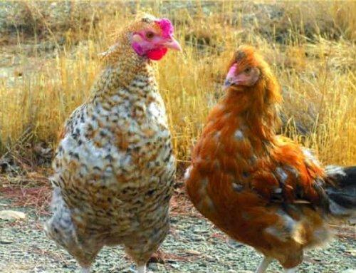 پرورش مرغ بومی در روستا