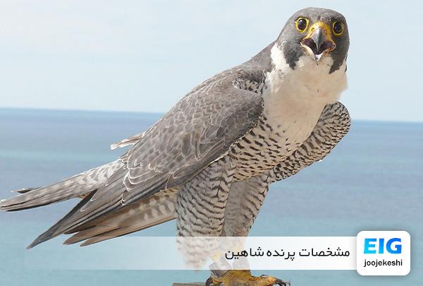 مشخصات پرنده شاهین - سایت جوجه کشی دات کام