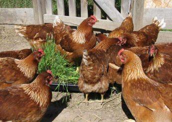 آماده کردن جایگاه پرورش مرغ بومی