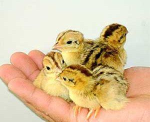 در مورد بلدرچین | مقاله پرنده بلدرچین