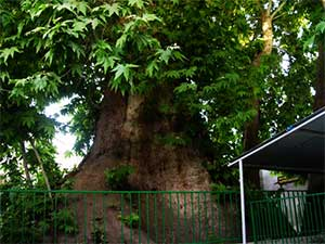 درختان جایگزین درختچههای مشجر