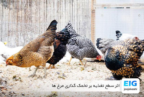 تأثیر سطح غذا بر تخمگذاری مرغ - سایت جوجه کشی دات کام