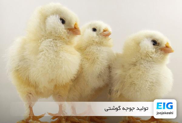 درصد تولید جوجه گوشتی - جوجه کشی دات کام