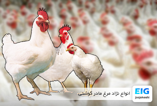 نژاد مرغ های گوشتی - سایت جوجه کشی دات کام