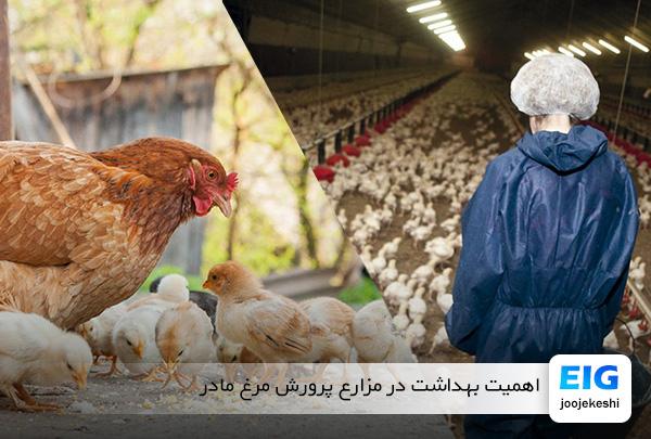 اهمیت بهداشت در گله های پرورش مرغ مولد و مادر - سایت جوجه کشی دات کام