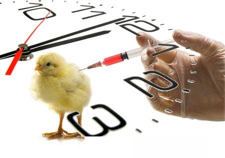 زمان واکسیناسیون پرندگان