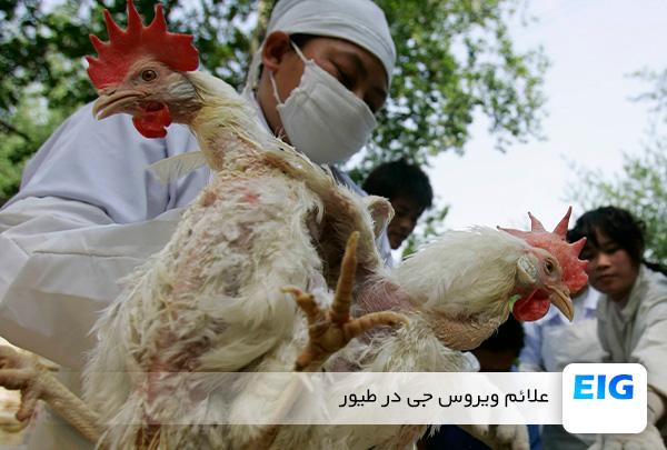 نشانه های بیماری ویروسی جی در مرغ - سایت جوجه کشی دات کام