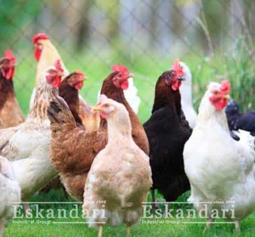 کنترل حشرات در گله های مرغ