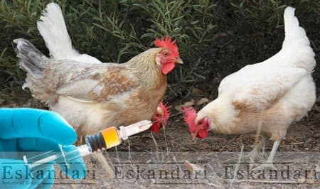 سیستم ایمنی پرندگان