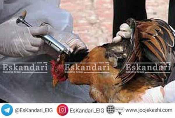 درمان وبای مرغ و طیور - فروشگاه جوجه کشی دات کام