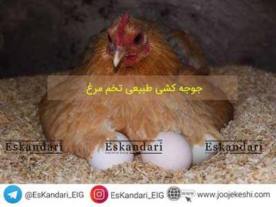 جوجه کشی طبیعی تخم مرغ