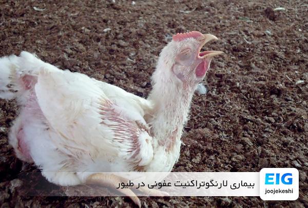 بیماری عفونی لارنگوتراکئیت در مرغ - سایت جوجه کشی دات کام