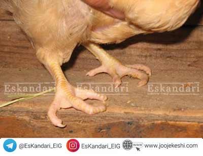 آرتریت ویروسی پرندگان