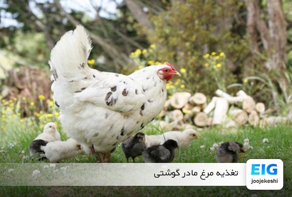 غذای مرغ مادر - سایت جوجه کشی دات کام