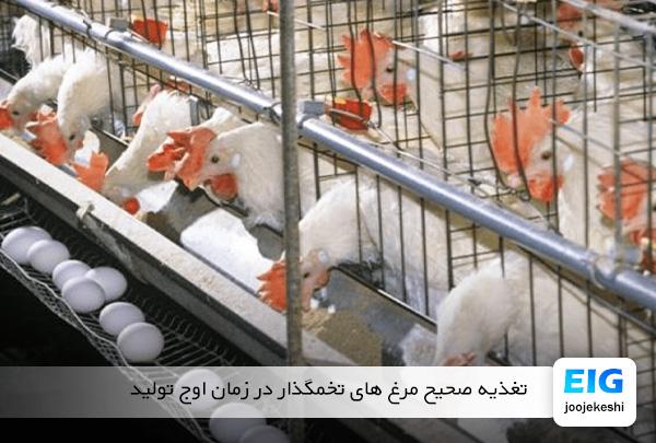 غذای مرغ تخمگذار در زمان پیک تولید - سایت جوجه کشی دات کام