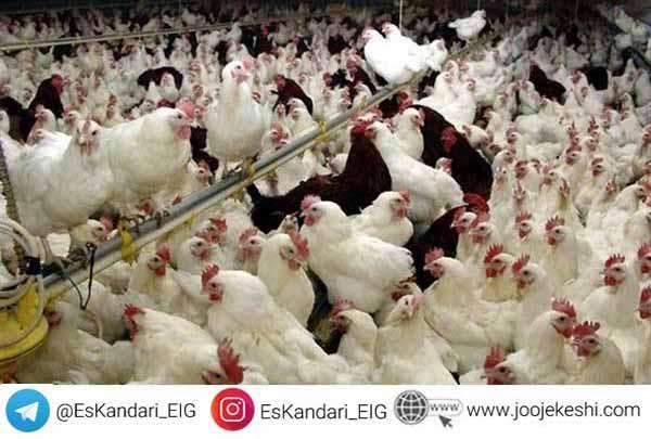 تغذیه مرغ گوشتی قبل از تخمگذاری- سایت جوجه کشی دات کام