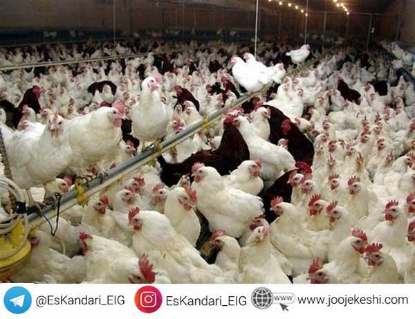 تغذیه مرغ گوشتی قبل از تخمگذاری