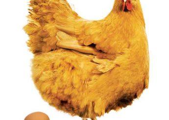 وزن و جثه بدن مرغ تخم گذار