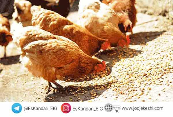 تغذیه مرغ های مادر - سایت جوجه کشی دات کام