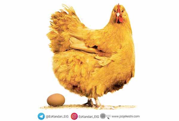 جثه مرغ تخم گذار - سایت جوجه کشی دات کام
