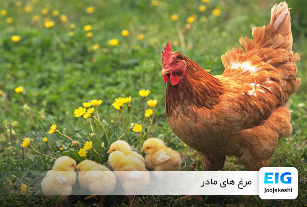 پرورش مرغ گوشتی - سایت جوجه کشی دات کام