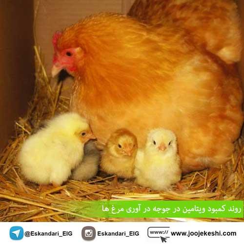 روند کمبود ویتامین در جوجه در آوری مرغ ها