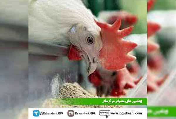 مصرف مکمل در گله های مرغ مادر - جوجه کشی دات کام