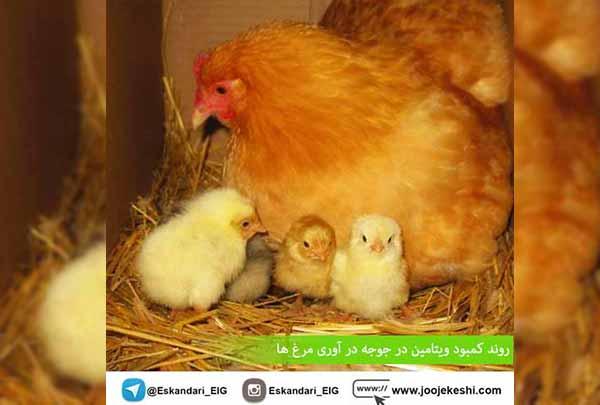 تأثیر کمبود ویتامین بر جوجه آوری مرغ