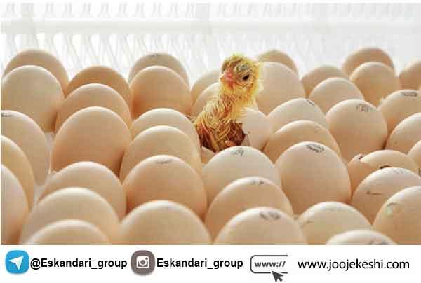 انتخاب تخم نطفه دار مناسب جهت جوجه کشی