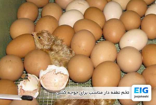 تخم نطفه دار مناسب برای جوجه کشی - جوجه کشی دات کام